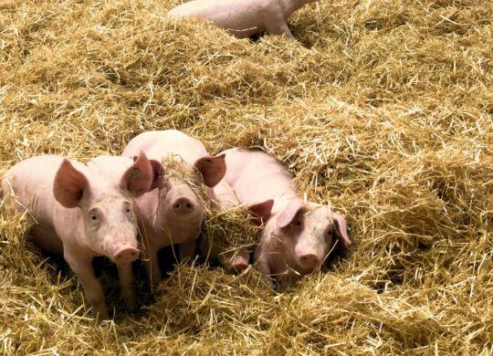 Strohschwein aus Bayern in München