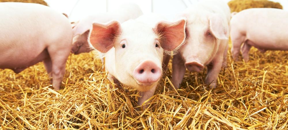 Strohschweine Fleisch aus Bayern Spezialität kaufen